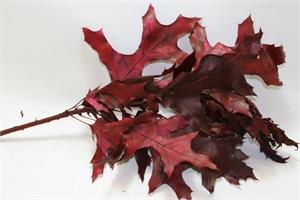 Red Oak Leaves Preserved